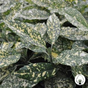 Aucuba japonica Crotonifolia 4L