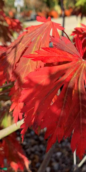 Acer japonicum Aconitifolium 10L 80/100cm