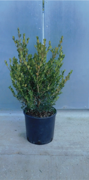 Buxus microphylla Faulkner 5L