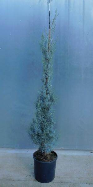 Cupressus arizonica Fastigiata 10L 125/150cm