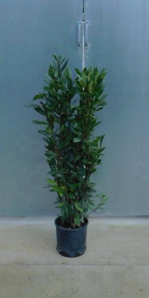 Laurus nobilis 3L 100/125cm