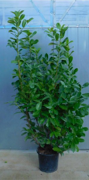 Prunus laurocerasus Rotundifolia 15L 125/150cm