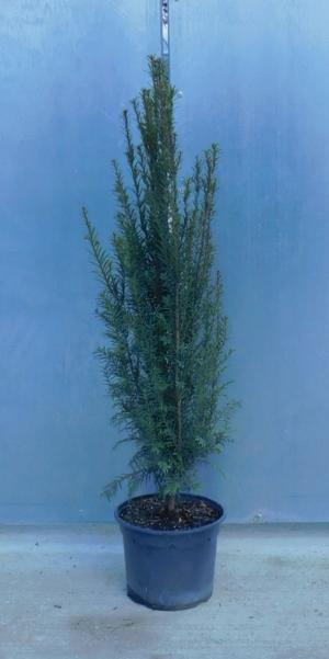 Taxus baccata 3L 60/80cm